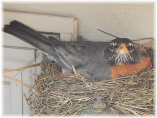 Mother robin 5/17/15