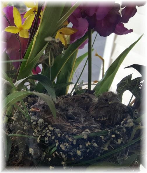 Mount Vernon finches 6/4/17