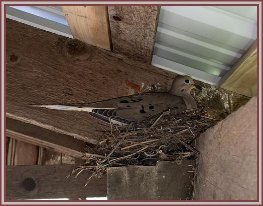Mourning dove on nest in barn overhang