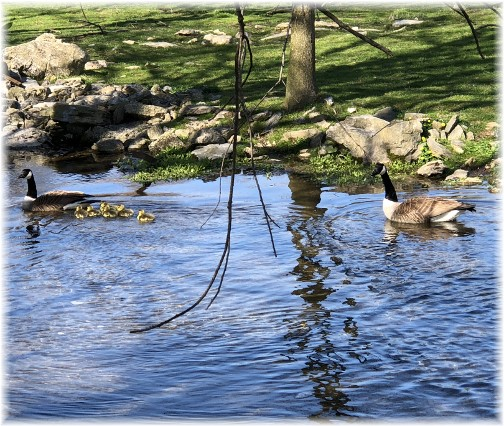 Donegal Springs Creek Canada geese family 4/22/18