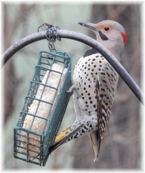 Northern Flicker (Photo by Marion Maxwell)