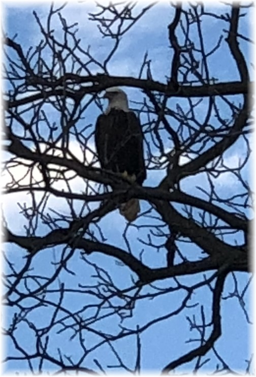 Eagle in tree on Old Windmill Farm 11/12/17