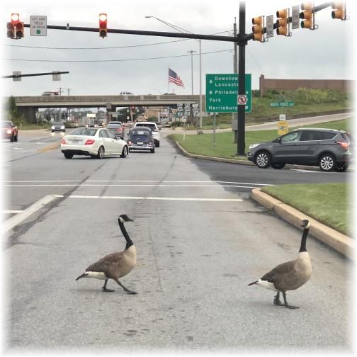 Oregon Pike Canada geese crossing 6/27/18