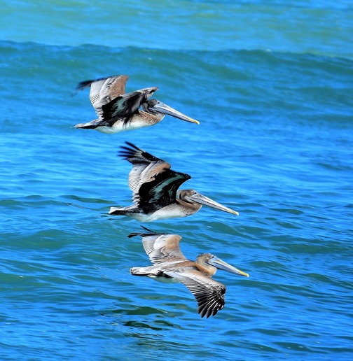 Three pelicans (photo by Doug Maxwell)
