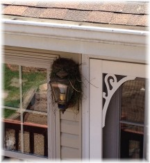 Porch light bird nest 5/4/15