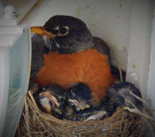 Porch light robins (photo by Ester)