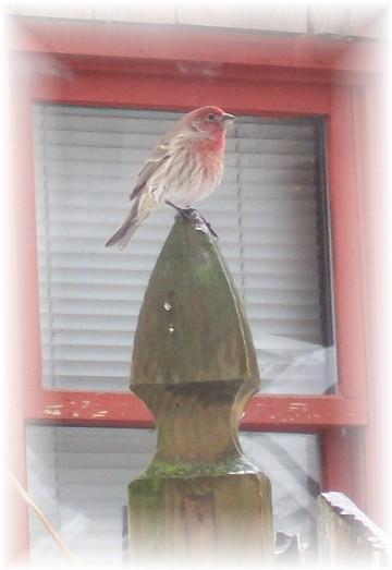 Purple finch at window feeder