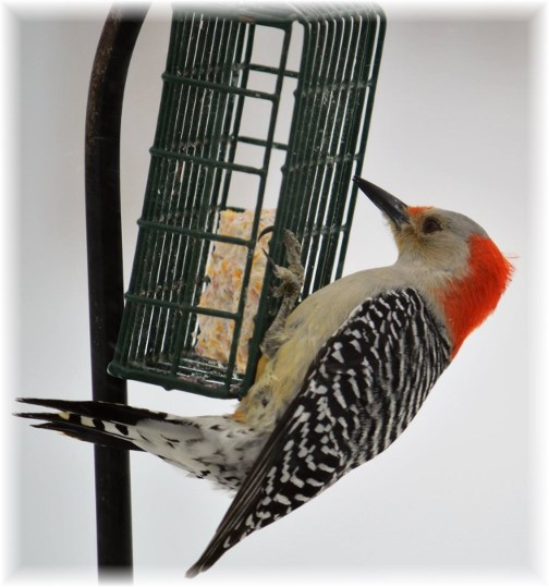 Red-bellied woodpecker (Photo by Doug Maxwell)