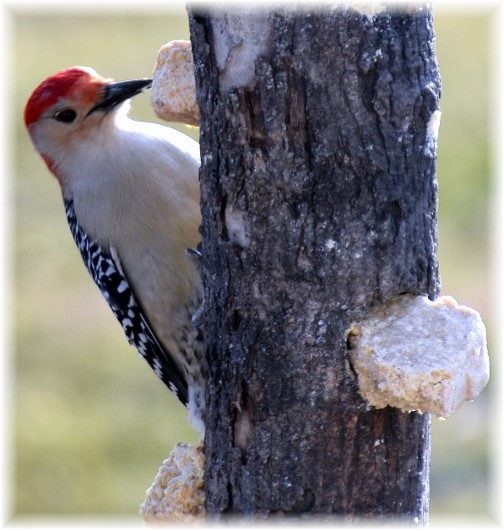 Red-bellied woodpecker (Photo taken by Doris High)