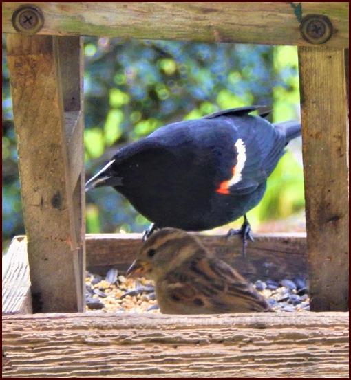 Red-winged blackbird (Lamar Dourte)