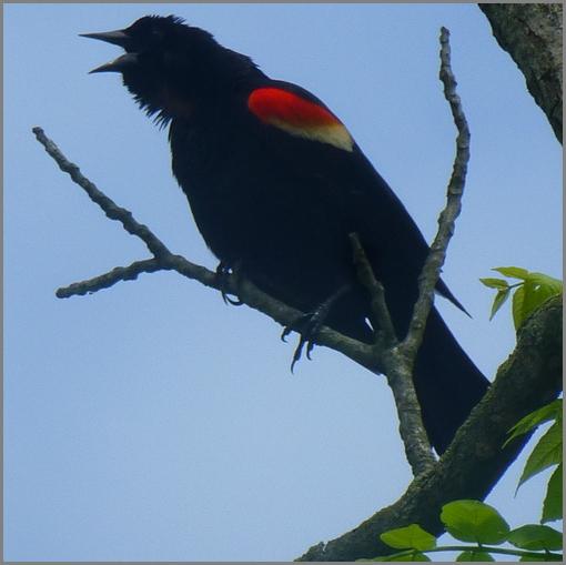 Donegal Creek red-winged blackbird (Joshua Binkley)