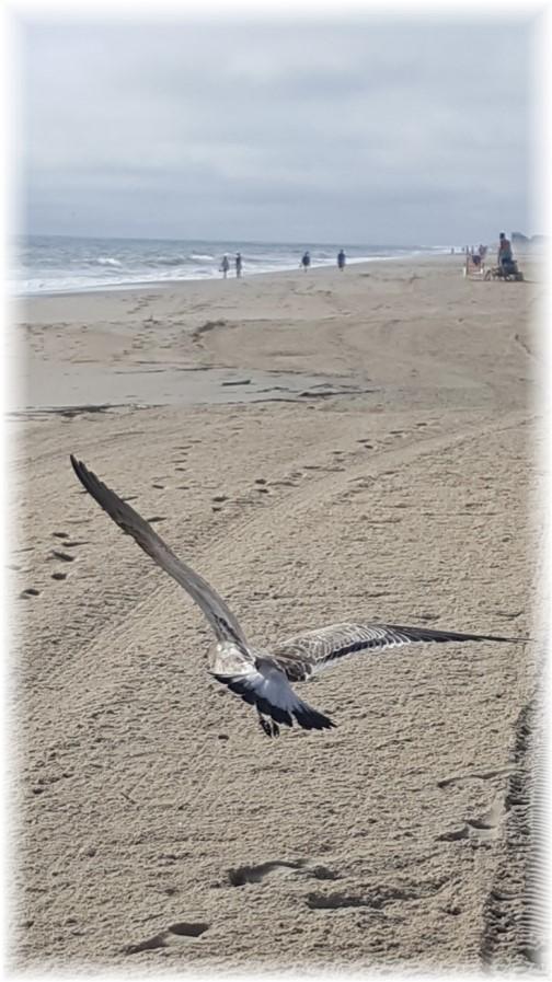 Rehoboth Beach DE seagull 9/25/17