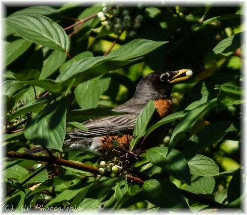 Robin (photo by Robyn Waugh)