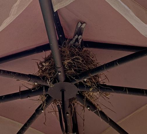 Robin in nest on top of Gazebo
