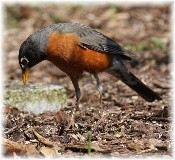 Robin searching for worm