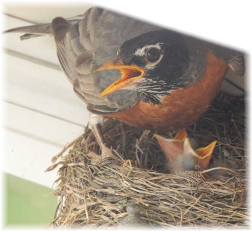 Robin in nest over porchlight