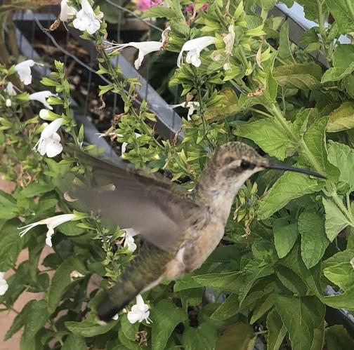 Sedona hummingbird 9/25/19