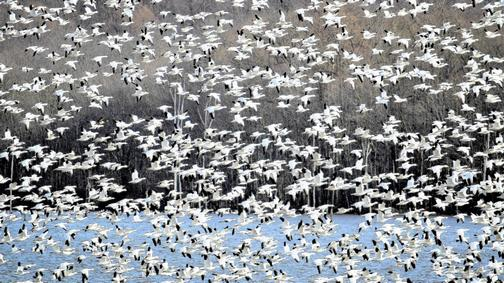 Snow Geese (photo by Doug Maxwell)