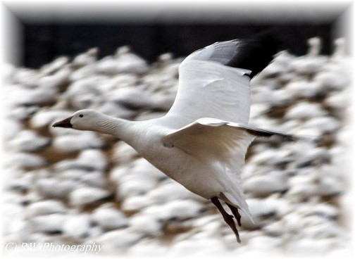 Snow Goose (Photo by Robyn Waugh)
