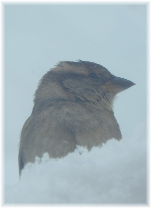 Bird resting during snow storm 3/14/17