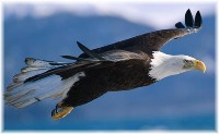 Soaring eagle (photographer unknown)