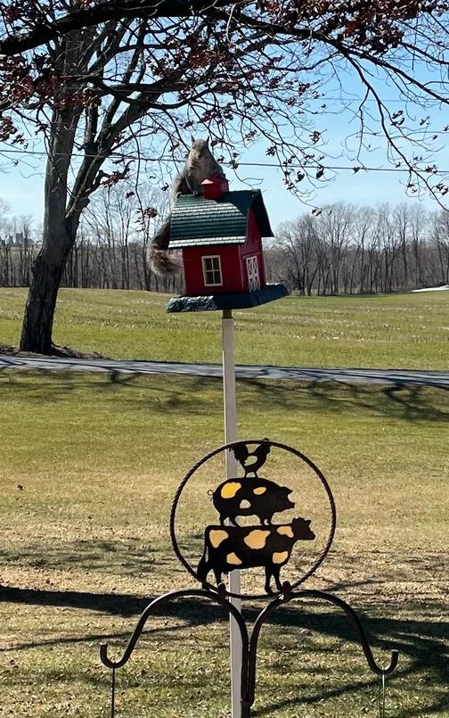 Squirrel on barn birdhouse