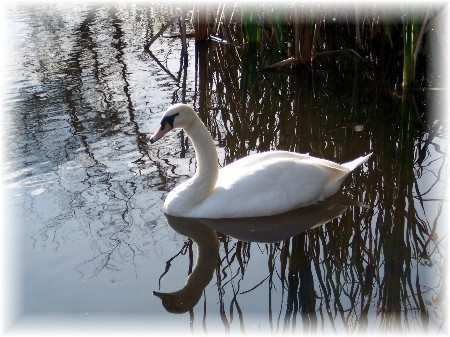 """Beauty"" Swan among reeds on farm pond"