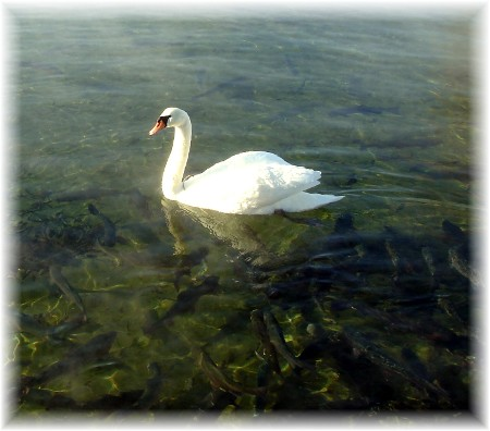 White swan on Mill Creek, Lancaster County PA