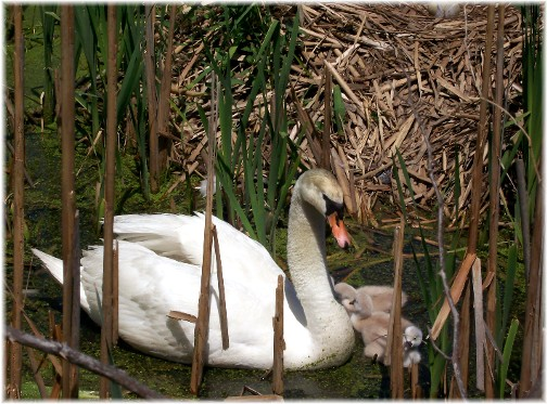 """Beauty"" swan with cygnets 5/21/11"