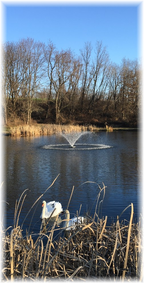 Swans on Wenger pond 12/20/15