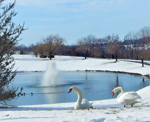 Swans in snow (Lamar Dourte)