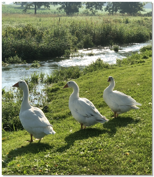 Donegal Creek geese