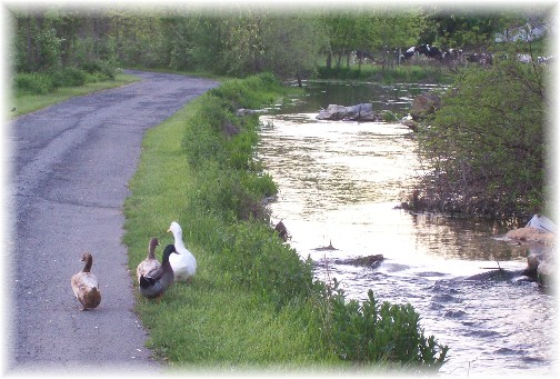 Waddling ducks 5/5/11