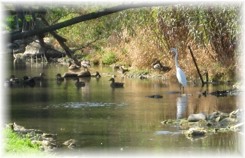 White Heron on Donegal Creek 9/12/14 (Photo by Marion Maxwell)