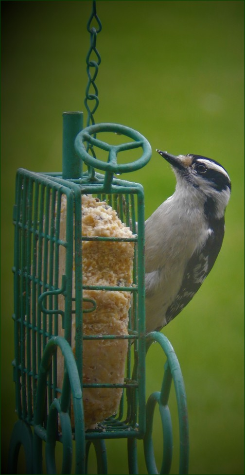 Woodpecker on suet tractor (photo by Ester)