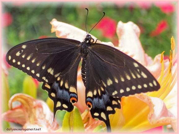 Photo of Butterfly on day lily