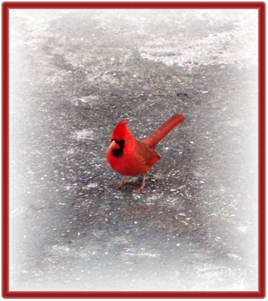 Cardinal on pavement