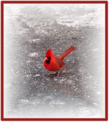 Cardinal on pavement