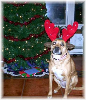 Roxie dressed for Christmas