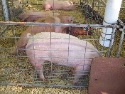 Photo of Darin's prize-winning pigs