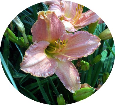 Photo of day lily