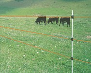 Electric fence and cattle