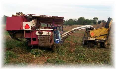 Tomato harvest near Mount Joy, Pennsylvania