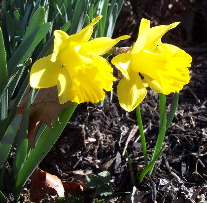 Photo of first Jonquil of 2006
