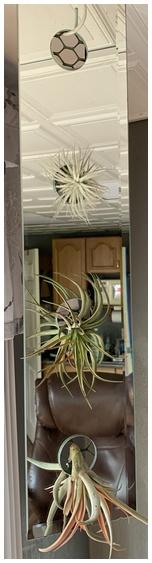 Air plants in mirror