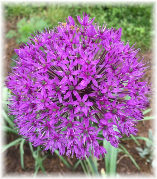 Allium at Donegal Springs 5/4/17 (Photo by Ester Weber)