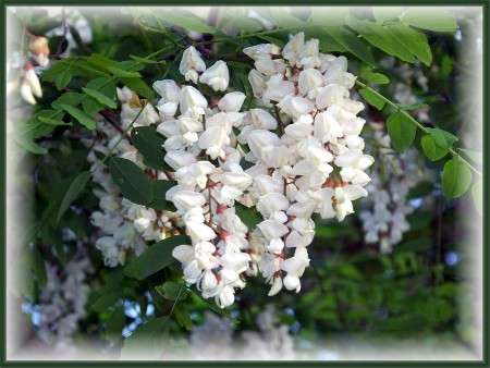 Black locust blooms (Photo by Nancy Martin)