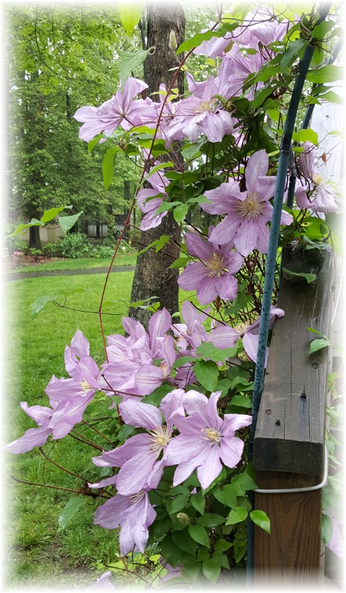 Clematis at Rehoboth Beach 5/22/16