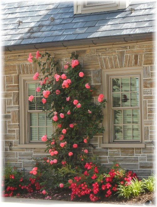 Climbing roses in New Holland, PA 6/5/13