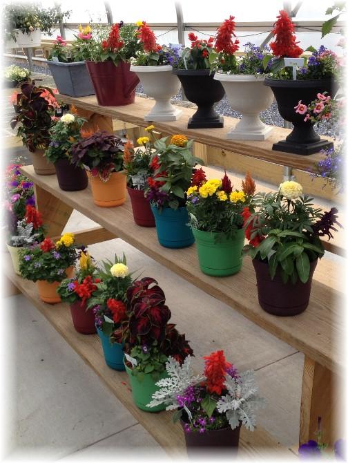 Colorful pots at Amish greenhouse 5/26/15